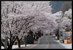 HADONG Cherry Blossom XXVII (Flitze50) Tags: cherry spring blossom korea cherryblossom southkorea fruehling kirschbluete hadong hwagae