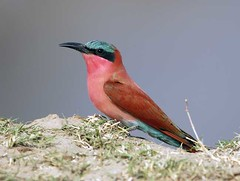 Carmine Breasted Bee-eater, South Luangwa