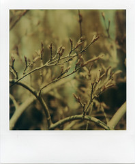 Buds (Colton Davie) Tags: plants film closeup polaroid sx70 iso100 backyard bokeh instant epson buds perfection fadetoblack v700 4490