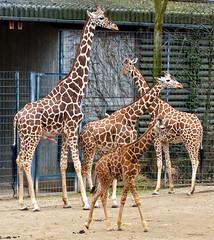 Giraffen (Giraffa camelopardalis) (Matthias Wicke) Tags: penis zoo stuttgart afrika giraffe paarhufer wilhelma giraffen savanne giraffacamelopardalis sugetier erigiert afrikanischesavannen erigierterpenis giraffenpenis
