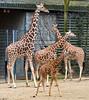 Giraffen (Giraffa camelopardalis) (Matthias Wicke) Tags: penis zoo stuttgart afrika giraffe paarhufer wilhelma giraffen savanne giraffacamelopardalis säugetier erigiert afrikanischesavannen erigierterpenis giraffenpenis