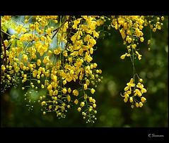Kani Konna (R.Sreeram) Tags: light flower color yellow festival bokeh kerala vishu kani cassiafistula konna medam kanikonna vishugreetings  thegoldenshowertree