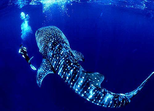 Whale-Shark-01_about_utila