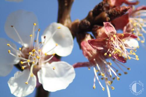 103-blossom