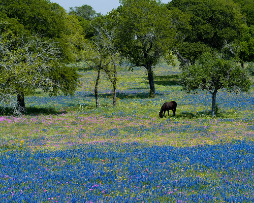 Horse in bluebonnets