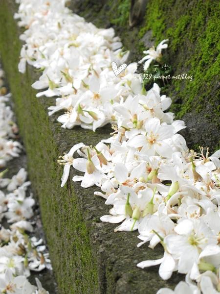 油桐花4-2010.04.18