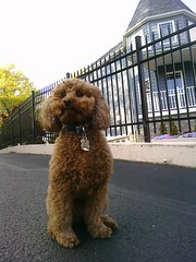 The cutest dog you will ever see, Rusty. (princessleah7x) Tags: dog ny newyork mobile by phone rusty taken rustythedawg