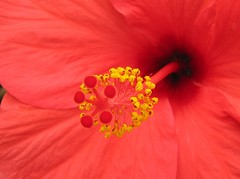 Hibiscus macro (Linda De Volder (the new layout is horrible)) Tags: red flower macro rot nature canon geotagged rouge march canarias hibiscus tenerife malvaceae rood canaryislands redflower 2010 extrememacro flowercentermacro mallowfamily malvales powershots5is lindadevolder thestupidasscollection themagicdonkeyrules
