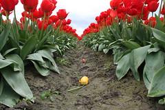 Abandoned Tulip (J.Sod) Tags: red yellow washington tulips farm washingtonstate skagitvalley skagitvalleytulipfestival skagitcounty seaofred tulipfields yellowtulip redtulip rowoftulips