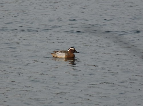 12302 - Garganey at Sandy Water Park