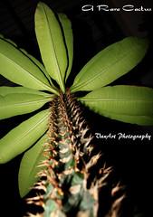 A Rare Cactus