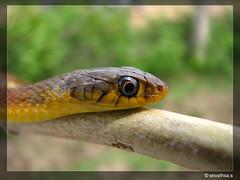 keelback snake(http://indianwildlifephotographs.blogspot.com/) (srivathsaaa) Tags: snakes westernghats canons5is snakesofindia keelbacksnake httpindianwildlifephotographsblogspotcom srivaths