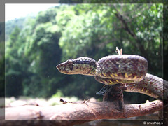 malabar pit viper (srivathsaaa) Tags: karnataka snakes westernghats wildlifephotography canons5is snakesofindia malabarpitviper httpindianwildlifephotographsblogspotcom srivaths