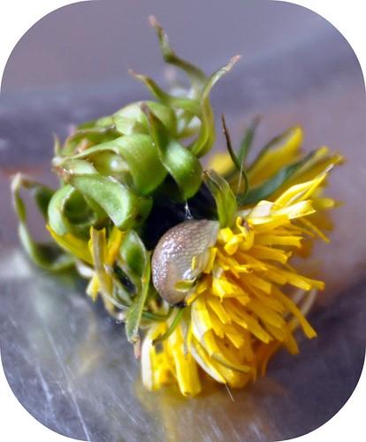 dandelion slug