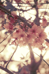 cherry blossoms. (Alli Jiang) Tags: california park pink sky plant flower color tree nature beautiful photoshop canon cherry asian photography eos 350d la photo losangeles spring soft natural blossom cherryblossom balboa effect tone edit blooming lightroom encino lakebalboa sprinttime outddoor allijiang