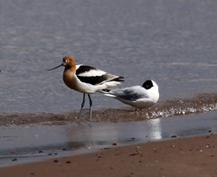American Avocet and Bonaparte's Gull (Laura Erickson) Tags: wisconsin superior americanavocet recurvirostraamericana wisconsinpoint