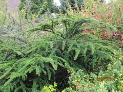 england westsussex mygarden cotoneaster eastpreston cotoneasterhorizontalis may2010 herringbonecotoneaster mygarden2010