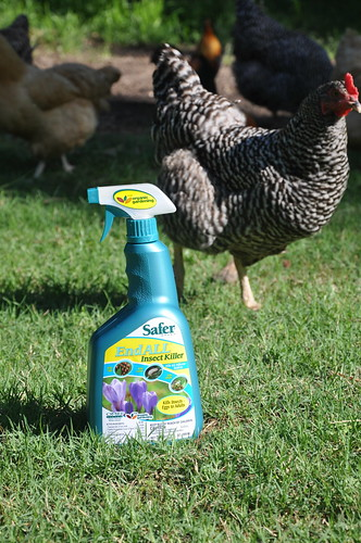 Safer® Brand End ALL Insect Killer with my chickens