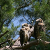 Two juvenile Great Horned Owls sit together in a tree not far from the tree with the nest they we...