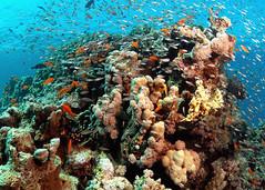 Life amongst the coral (gillybooze (David)) Tags: fish coral underwater redsea fisheyelens worldtrekker sunkentreasureaward absolutelyperrrfect mygearandme mygearandmepremium mygearandmebronze madaleundewaterimages