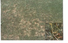 Leaf Spot (melting out) is common is our area.