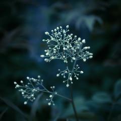 (inhiu) Tags: plant flower nature dark zen mysterious hengdian inhiu