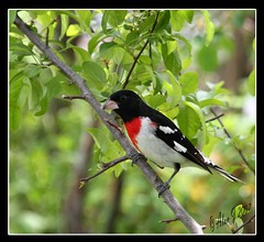 Rose-Breasted Grossbeak (alanj2007) Tags: ny newyork birds canon bokeh 7d upstatenewyork capitaldistrict natureselegantshots 70x200mmlf4is