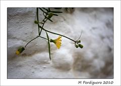 Encalada (M Perdiguero) Tags: raw dof bokeh flor canon5d pasvalenci lacostera qdd eixidetes amicsdelacmera moixente