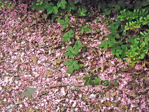 blossoms on the ground