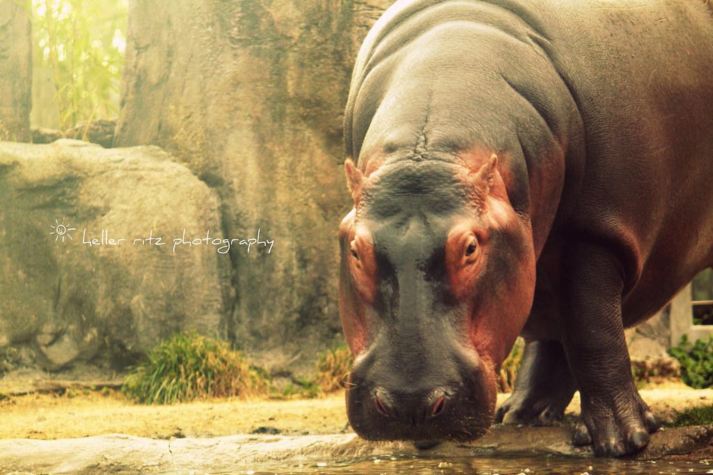 BG_Hippo_Tagged