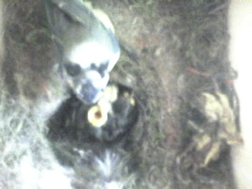 Bild aus dem Meisenkasten vom  16.05.2010