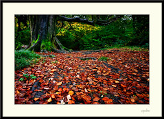 A big, big carpet . . . . (opobs) Tags: autumn trees leaves southwales wales wideangle canon5d 1001 neath polariser 1740mml gnollestate gnollcountrypark opobs michaeljstokesawpf