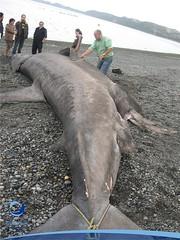 cmaximus12 (Tiburones Chile) Tags: chile peregrino diversidad biodiversidad especieamenazada tiburonperegrino sabiasquedescubre