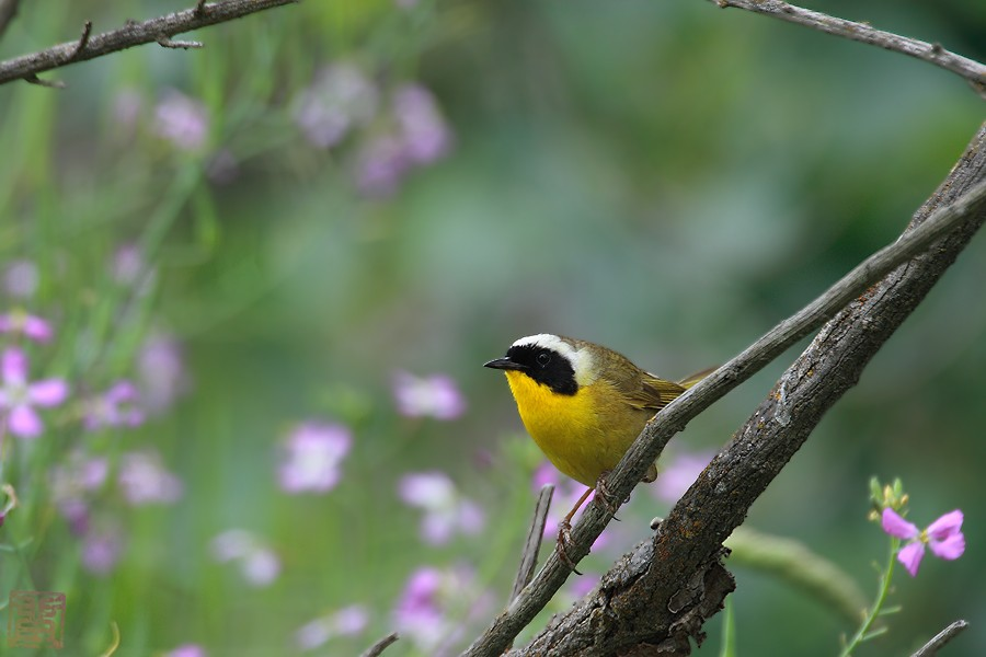 Common Yellowthroat 05101