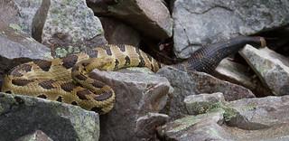 Timber rattlesnake at den site Crotalus horridus
