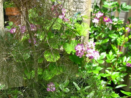 bronze fennel, Veilchenblau rose