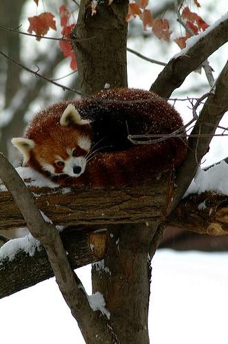 2002-1205 red panda 1786