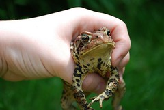 Mr. Toad (darbysaurus.) Tags: animal hand reptile wildlife amphibian bumpy toad hold
