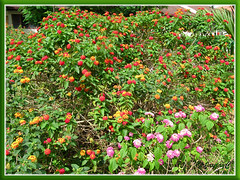 Multi-coloured flowering bushes of Lantana camara