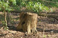 altes Holz SPB_3666 (Chironius) Tags: wood germany deutschland madera alemania holz allemagne hout germania bois legno emsland lingen niedersachsen