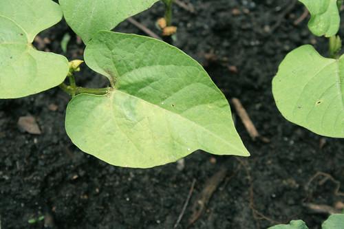 Bush Bean Seedlings