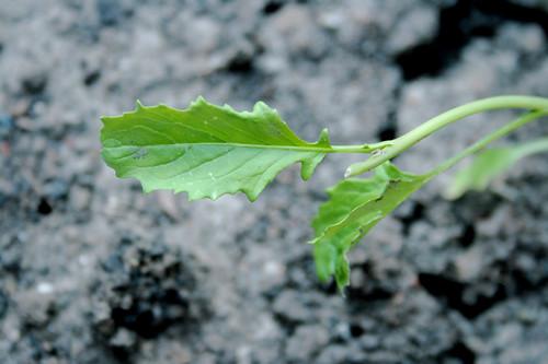 Raab Seedling