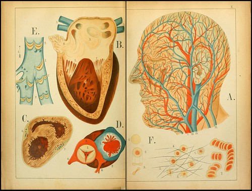 An atlas of Anatomy (FF Miller, 1879) f