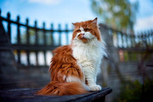 [免费图片] 动物, 哺乳动物, 猫科, 猫, 201006231100
