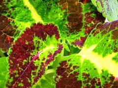 HOJAS MULTICOLOR (danieltoror) Tags: red verde green hoja leaves de hojas rouge leaf rojo colombia vert villa feuille leiva boyac