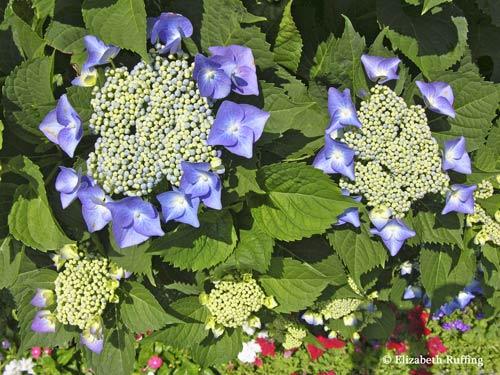 Blue lace-cap hydrangeas