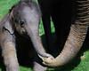 Asian Elephant 12 (Daysleeper40) Tags: baby elephant calf whipsnade