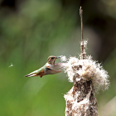 Hummingbird + Bullrush = Future Nest (Peggy Collins) Tags: bird nature interestingness hummingbird britishcolumbia wildlife explore pacificnorthwest marsh hummer penderharbour sunshinecoast bullrush rufoushummingbird flyinghummingbird hummingbirdflying peggycollins hummingbirdnesting hummingbirdpicture