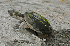 Snapping Turtle (BN Singh) Tags: wild snapping turtle egg nj greatswampnwr