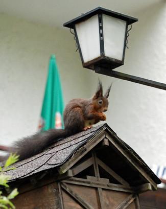fusl-squirrel-w